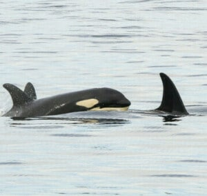 orcas visible from anacortes